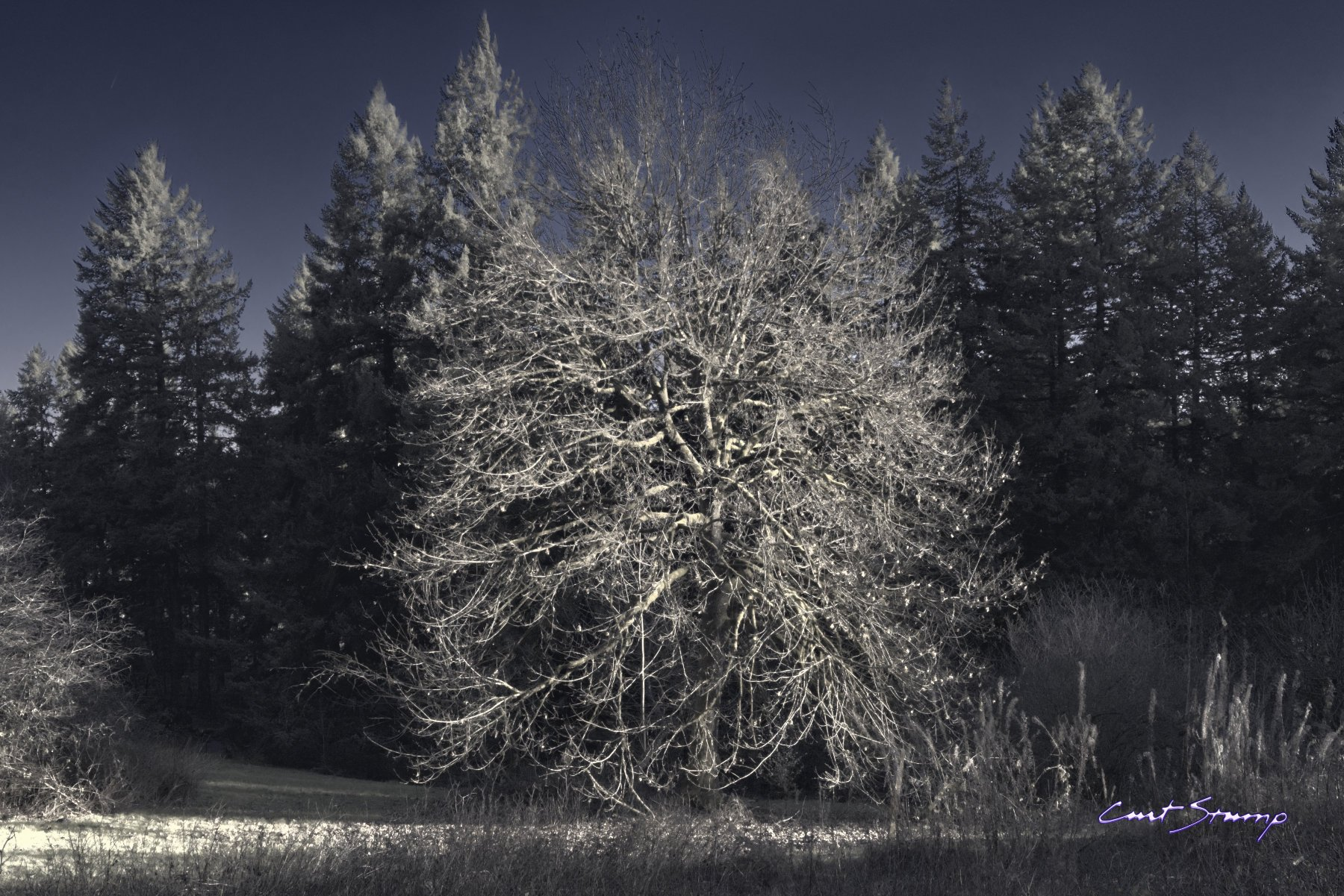 Photo of a majestic tree in winter with no leaves, against a background of tall evergreen trees. Location: Mount Tabor Park, Portland, Oregon.