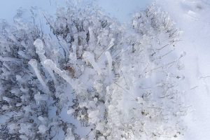 A frozen shrub encased in ice from an ice storm