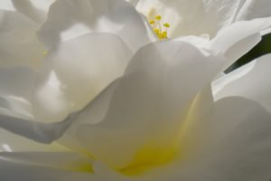 Closeup of the flower of a Camillia tree, white flower with yellow pistils