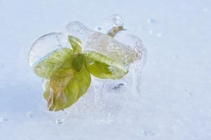 Young seedling plant with green leaves encased in ice from ice storm