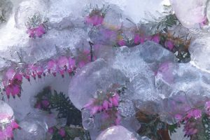 Ice in Spring covering a blooming flowering plant