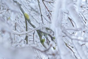Tree branches with moss encased in ice from an ice storm