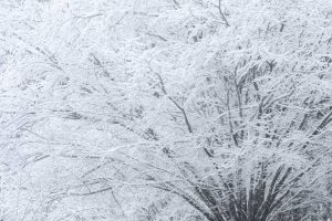 Snow covering tree branches