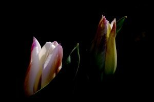 Two sunlit rainbow-colored tulips partially open against a dark background