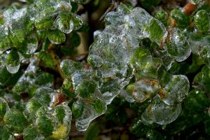 Clear ice encasing a green plant