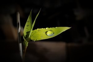 Bamboo leaf holding drops of water